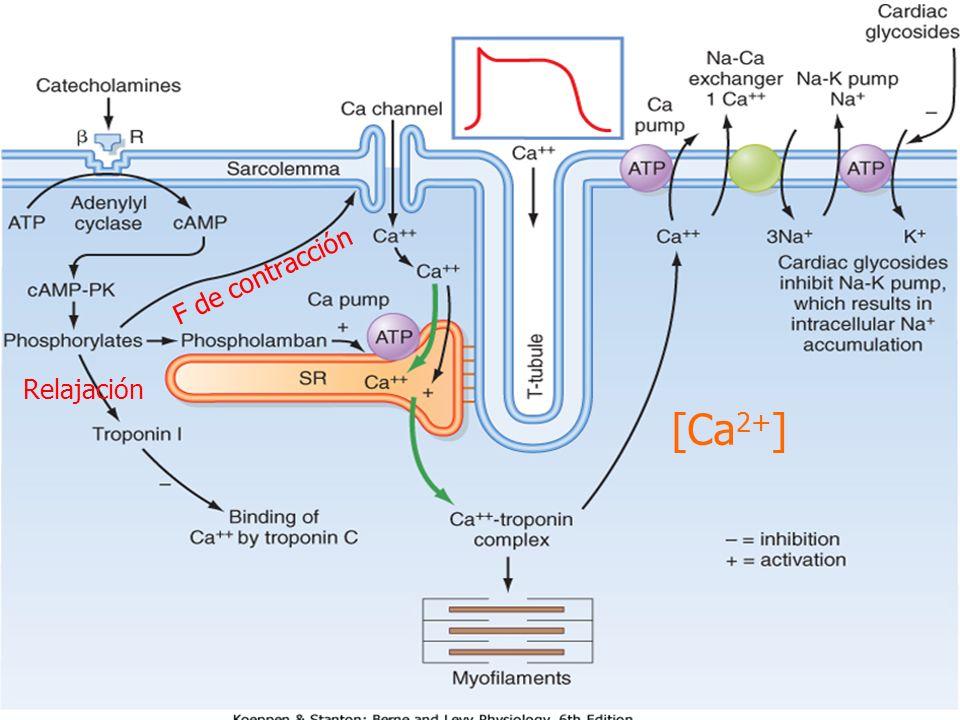 [Ca2+] F de contracción Relajación